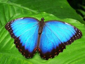 Troopical blue butterfly